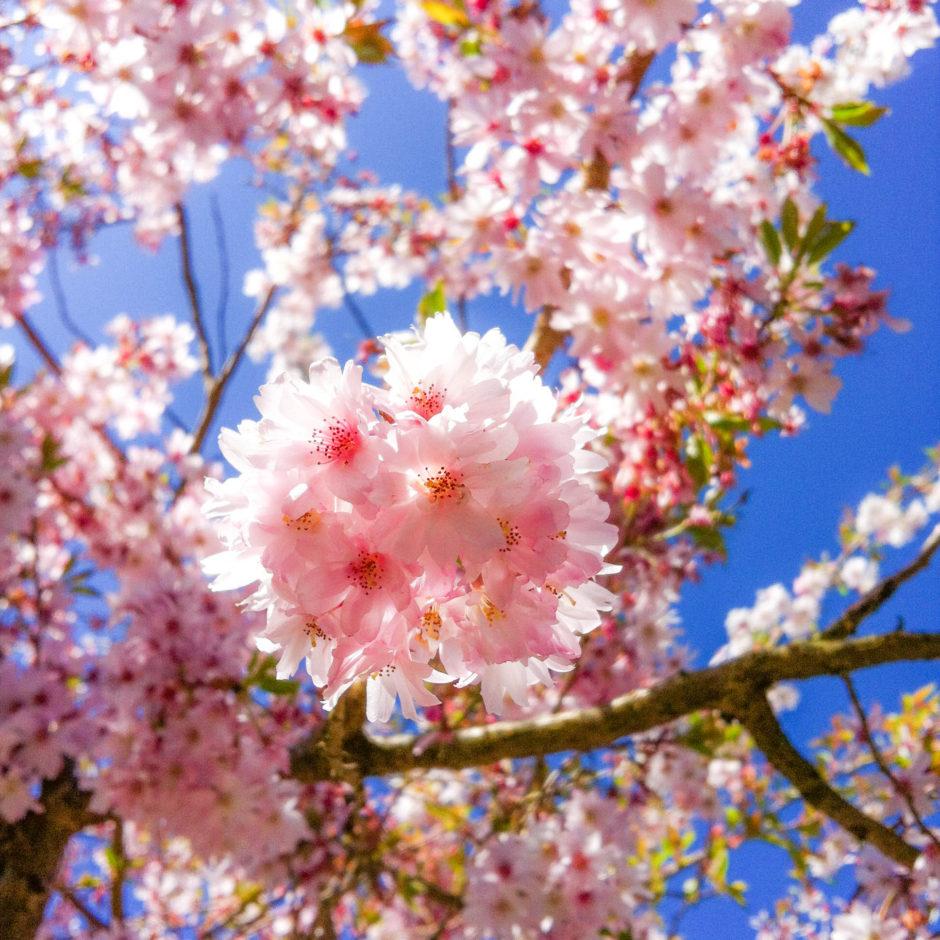 英国の桜 