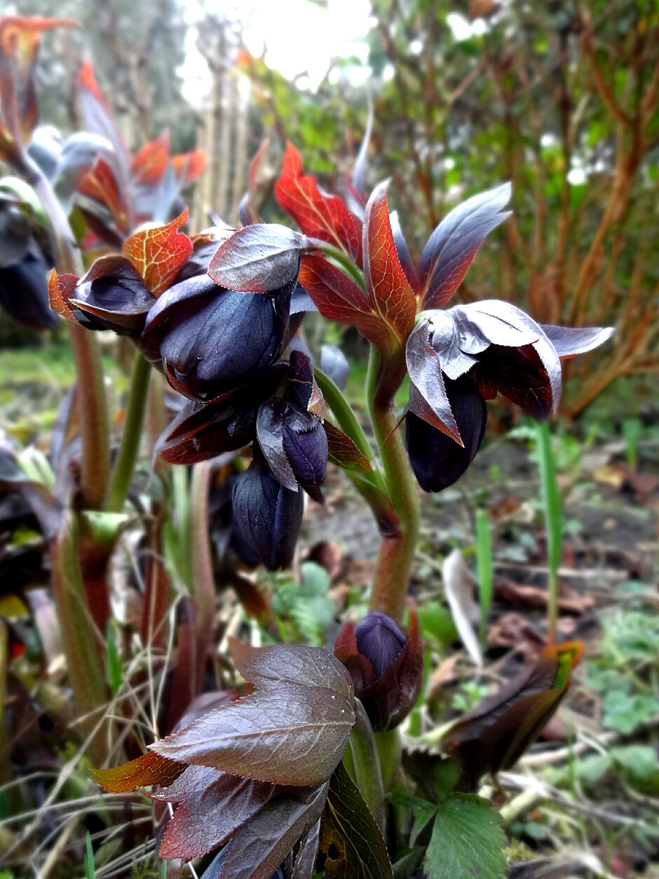 christmas rose black