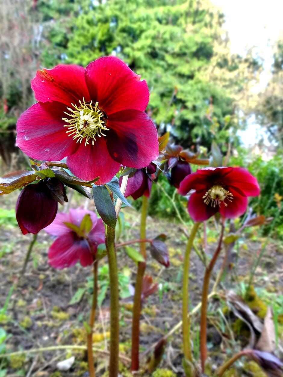 christmas rose red