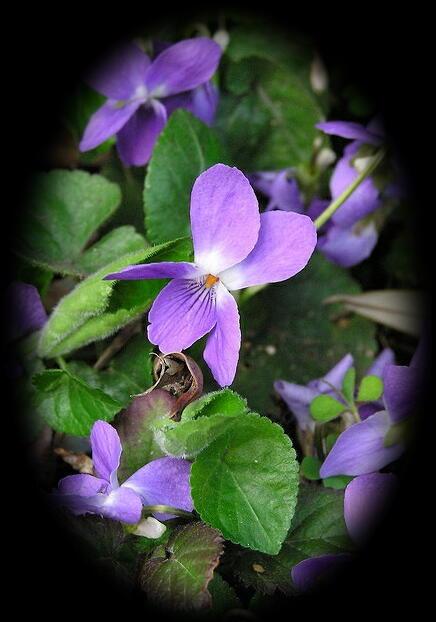 英国アンティークス・オフィシャルブログ-wild violets