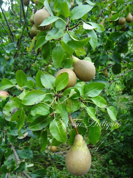 英国アンティークス・オフィシャルブログ-Pears