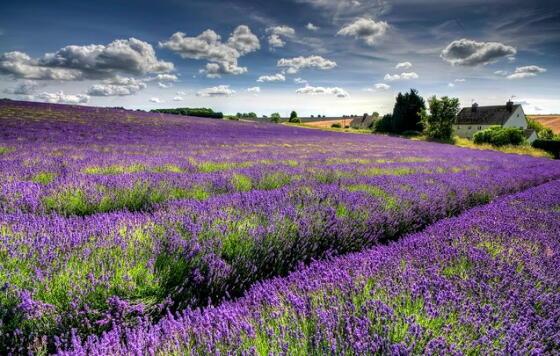 英国アンティークス・オフィシャルブログ-Lavender