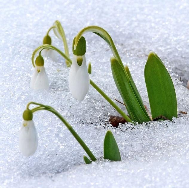 英国アンティークス・オフィシャルブログ-Snow drops
