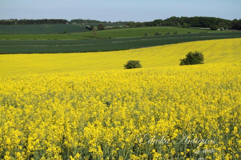 美しい国、英国のアンティーク&カントリーライフ-菜の花畑