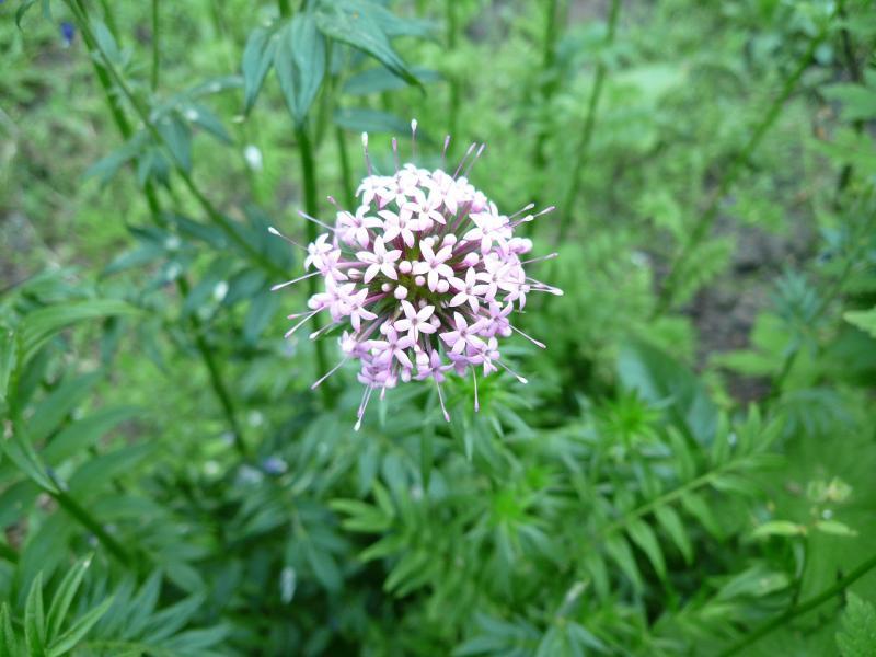 英国・コッツウォルズより愛をこめて-ピンクのかわいい花