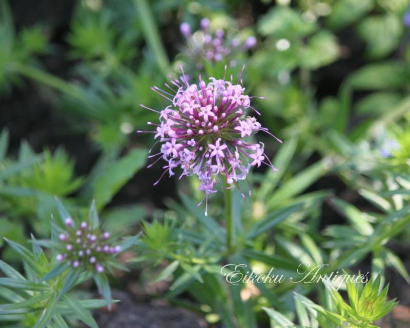 美しい国、英国のアンティーク&カントリーライフ-この花の名は?